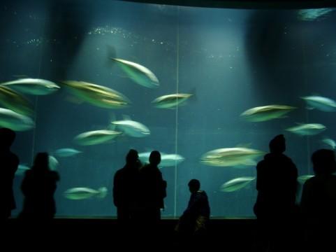 【原因不明】新たに投入されたクロマグロ1匹が死ぬ…東京葛西臨海水族園