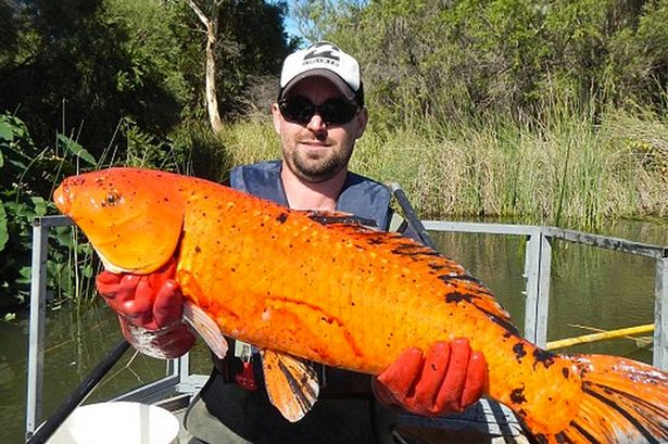【巨大生物】オーストラリアの水路で巨大な金魚が捕獲される!