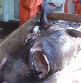 【静岡】駿河湾、焼津沖で生きた大型深海魚「オンデンザメ」を捕獲