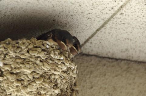 ツバメの巣にセシウム、最大9万ベクレル…13都県から