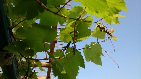grape2s.jpg