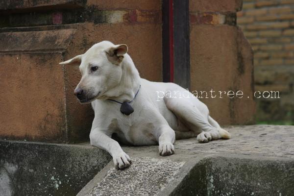 バリ島の犬2