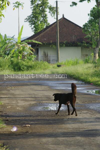 バリ島の犬3
