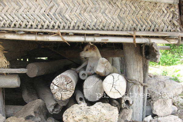 スンバ島の伝統家屋の軒下の犬