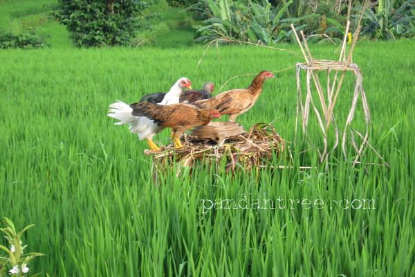 バリ島の田んぼの鶏