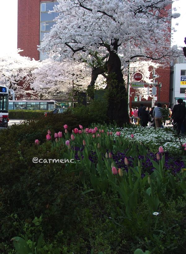 駅前チューリップと桜