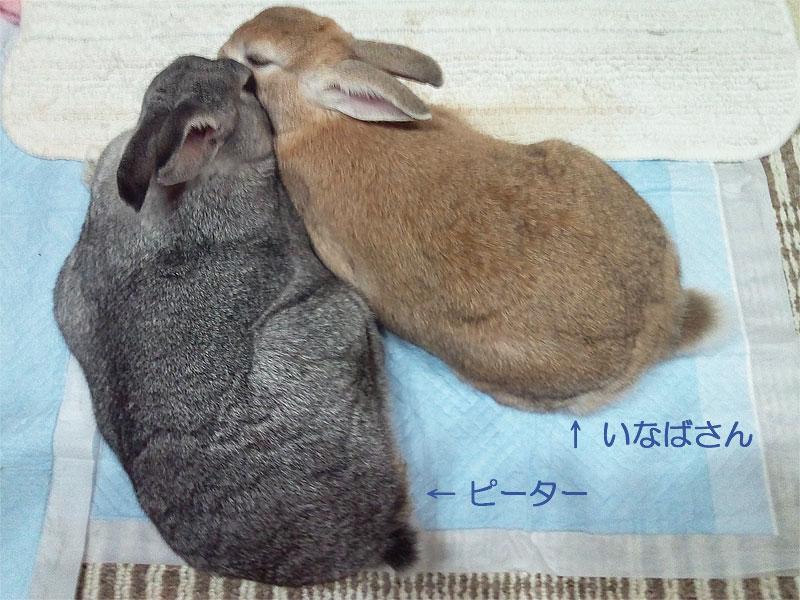 ウサギの膀胱肥大