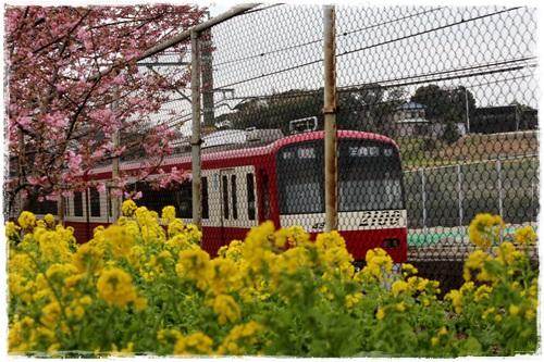 三浦海岸の桜まつり